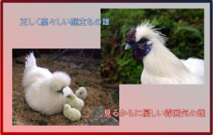 今日は、その可愛い烏骨鶏について少々